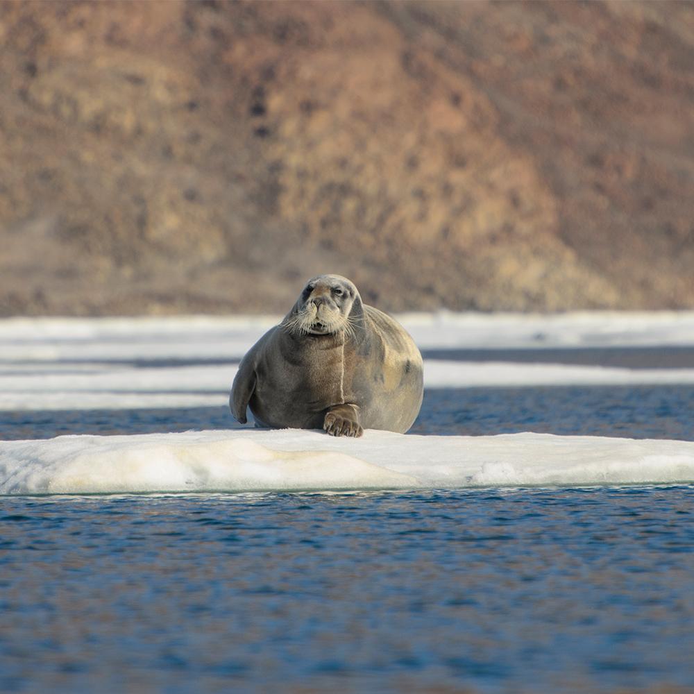 Walrus relaxing